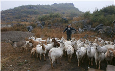 如何让养羊更加高效?这几个措施你做了吗