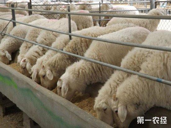 肉羊怎么养才能在最短的时间内上市?肉羊短期育肥法
