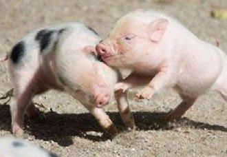 <b>仔猪的存活率要怎么提高?以下四个方法养猪户要注意</b>