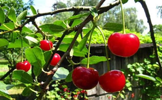 樱桃树常见的虫害有哪些?以下三个虫害要注意