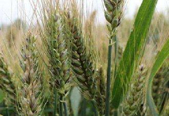 小麦在冬季时要怎么防治冻害?以下6个防治措施你需了解