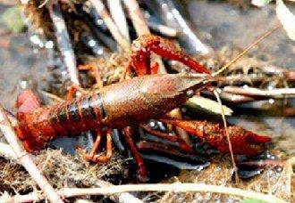 <b>小龙虾要怎么饲养?小龙虾的饲养技术</b>
