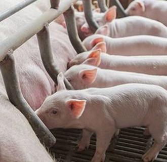 猪只吃不长的原因以及解决办法