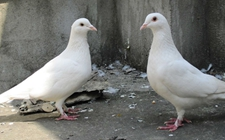 <b>2019年养白羽王鸽赚钱吗?1000对白羽王鸽养殖效益和利润分析</b>