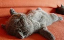 """怎么训练宠物猫""""装死""""?猫咪""""装死""""训练教程"""
