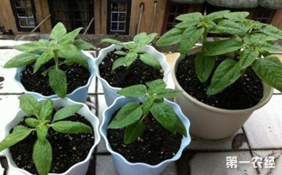 向日葵怎么盆栽?向日葵的盆栽养护技巧