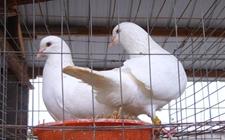 白羽王鸽多久下一次蛋?白羽王鸽不下蛋是怎么回事?