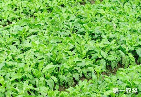 种什么菜生长快,周期短?短周期蔬菜种植推荐