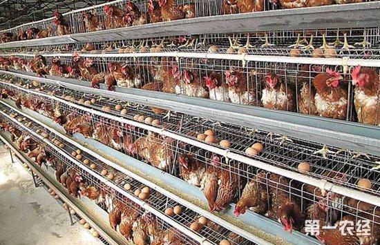 为什么散养土鸡总是输给商品鸡?土鸡养殖容易亏本的原因分析
