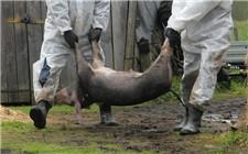 农业农村部:我国非洲猪瘟疫情总体可控
