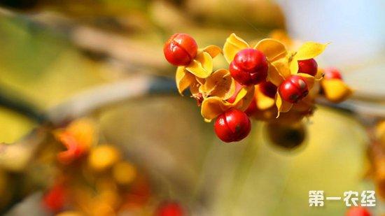 盆栽南蛇藤要怎么种?盆栽南蛇藤的种植技术