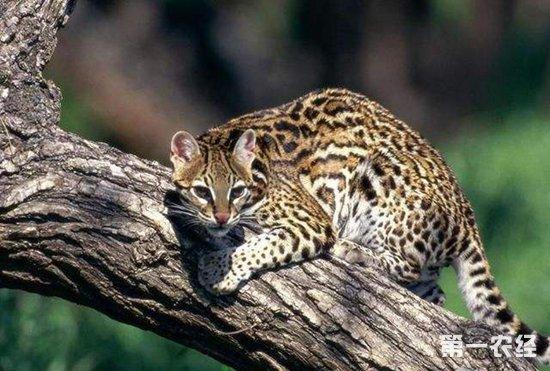 豹猫要怎么养?豹猫的养殖技术