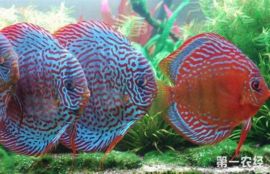 七彩神仙鱼常见的疾病以及防治措施