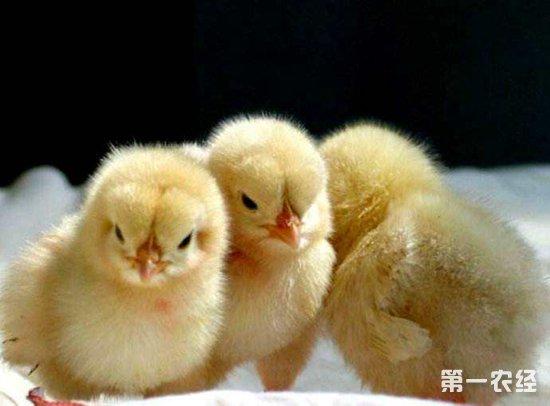 雏鸡糊肛的原因以及预防措施