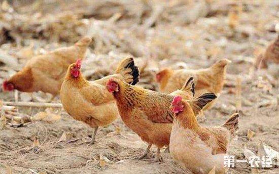甘肃陇南:药香鸡带来增收致富的新希望