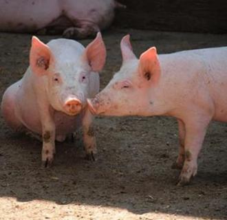 母猪配种后的饲喂技术以及注意事项