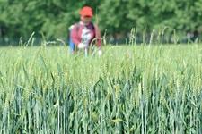 河南省发布紧急监测预警通知 全力抓好小麦病虫害防治工作