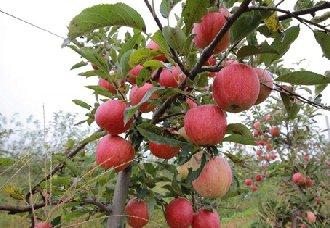春季苹果园要怎么管理?春季苹果园的管理技术