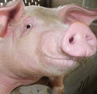 母猪便秘怎么办?母猪便秘的治疗和预防方法