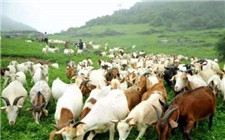 春季养羊注意事项:这几种症状要注意防范