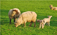 羔羊养殖注意事项:春季一定要防范这四种疾病