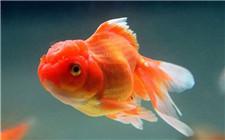 金鱼嘴巴溃烂是什么病?如何进行治疗