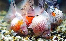 金鱼也要防中暑 预防金鱼闷缸的方法