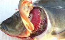 哪些寄生虫会引起烂鳃病?寄生虫引起的烂鳃病如何防治