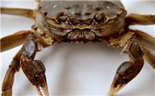 河蟹附肢腐烂是什么造成的?如何防治