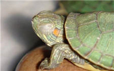 乌龟白眼病是什么造成的?如何进行防治