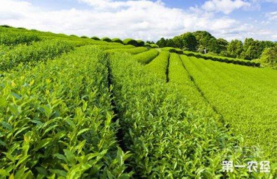 海南白沙黎族:有机茶叶的致富前景好