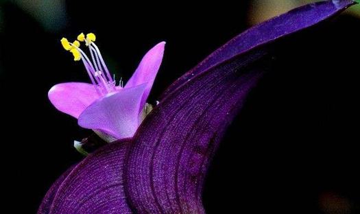 紫鸭跖草要怎么种?紫鸭跖草的种植技术