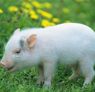 仔猪不吃料怎么办?仔猪补料和诱食的正确方法