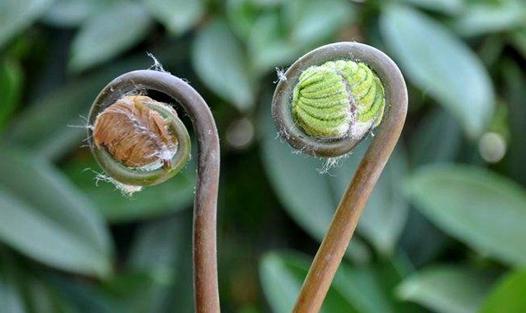 薇菜要怎么种?薇菜的种植技术