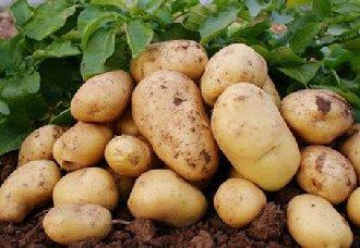 马铃薯花叶病的病因、症状及防治措施