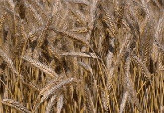 饲草型小黑麦新品系C16选育成功