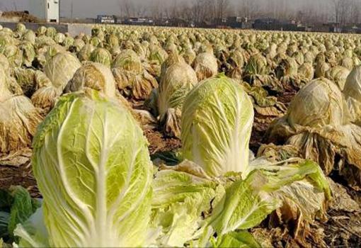 山东演马庄万亩白菜滞销烂田中 最低只卖到3分钱
