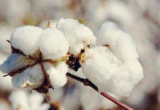 种植棉花常见的三个问题以及解决措施