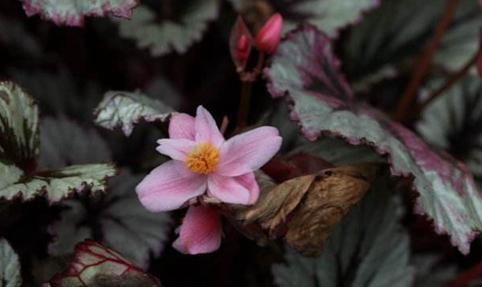蟆叶秋海棠怎么种?蟆叶秋海棠的种植技术