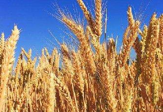 小麦有穗无籽的原因以及防治措施