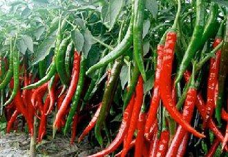 辣椒卷叶的原因以及防治方法