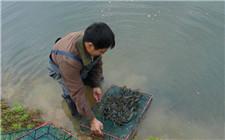 小龙虾养殖技巧:如何增加养殖效益