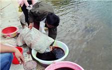 投放鱼苗前如何进行消毒?鱼苗的消毒方法