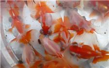 冬春季节养殖金鱼一定要注意预防这些疾病