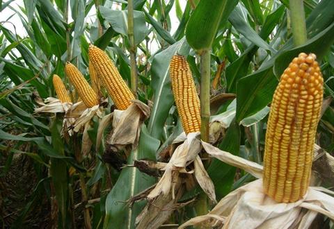我国研究团队揭示玉米籽粒发育的分子机制