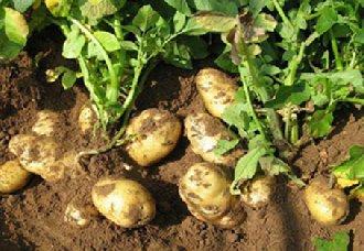 <b>我国已研发出马铃薯主食产品达300多种 共分为六大系列</b>