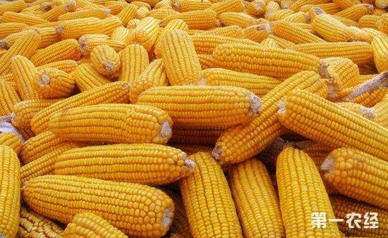 """东北玉米价格跌跌不休 或将持续""""领跌""""全国"""