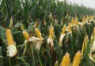 玉米大斑病、小斑病的危害以及防治措施