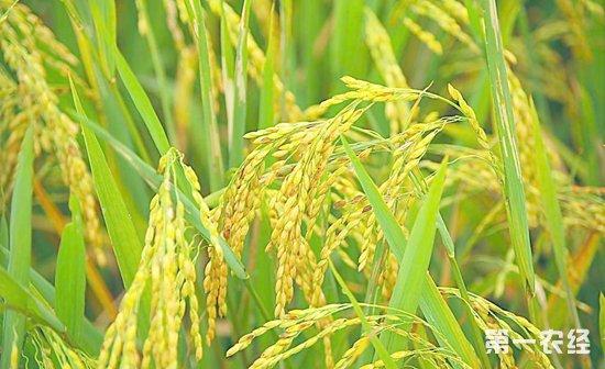 2019年水稻市场行情预测!水稻价格日益市场化