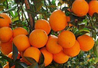 脐橙要怎么套袋?脐橙的套袋技术